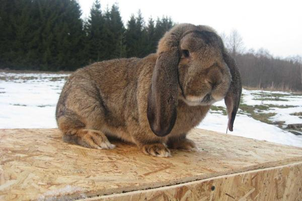 THE FRENCH SHEEP RABBIT
